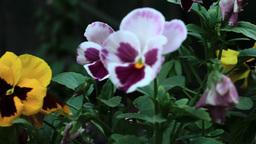 Colourful pansies Footage