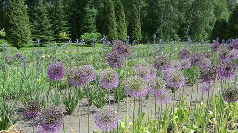 Panorama of round decorative garlic flower buds move in wind Live Action