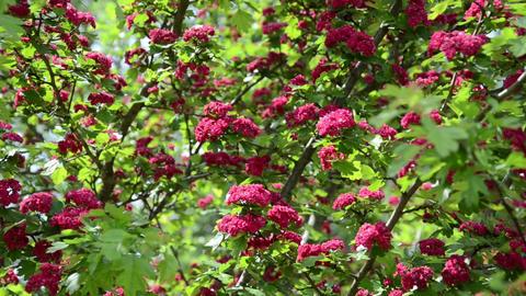 Tilt up of beautiful hawthorn (Crataegus laevigata) tree blooms Footage