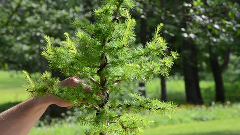 Close scene of man hands care cut bonsai larch tree Footage