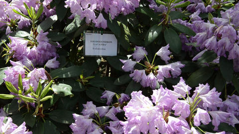 Tilt down of purple rhododendron flower blooms shine in sunlight Footage
