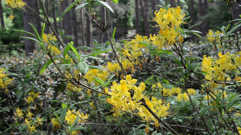 close of yellow rhododendron flower plant twig with blooms Footage