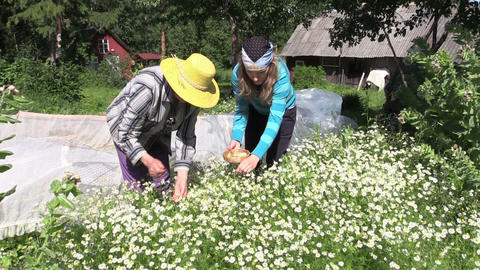 granny and girl collect medicinal camomile, natural medicine Footage