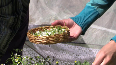 close up of hand pick medicinal camomile flower in wicker plate Footage
