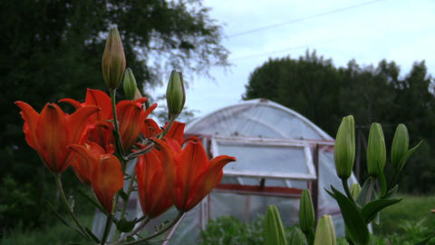 focus change dark orange lilies and greenhouse in country garden Footage