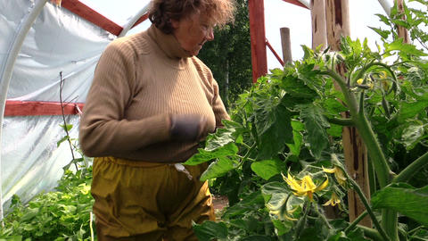 Old senior gardener woman care tomatoes plants in greenhouse Footage