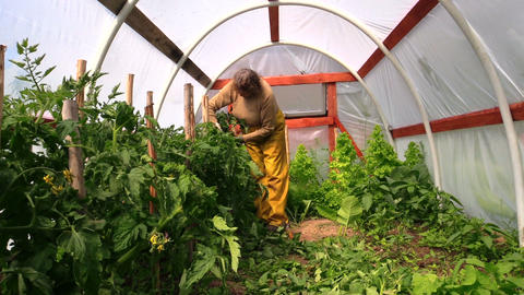 woman bind high tomato bush to sticks in glasshouse Live Action