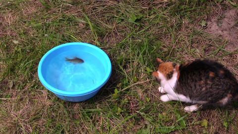 man put crucian fish in bowl, cat catch with claw and eat Live Action