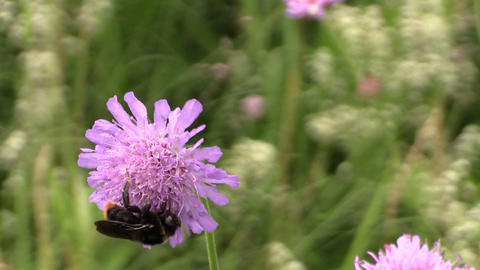 Bumblebee (bombus) collect pollen nectar from pink flower bloom Footage