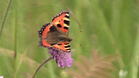 Small Tortoiseshell (Aglais urticae) butterfly on pink flower Footage