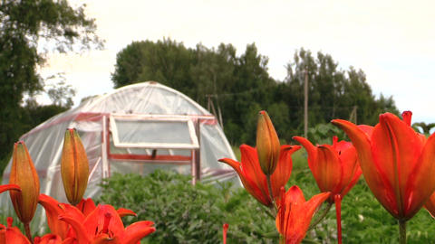 Orange lily flowers and greenhouse in garden. Focus change Footage