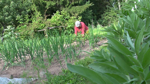 gardener weed in vegetable garden, bed of onion Live Action