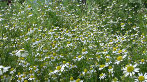 Chamomile flower. Alternative medicine ingredient grow in garden Footage