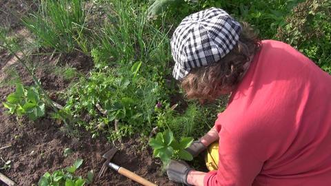 Farmer woman weeding strawberry plants in garden. Seasonal works Footage
