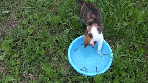 cat fishing with claw small fish in bowl. Feline skills Live Action