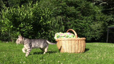 Little kitty cat jump out of wicker basket and walk on meadow Footage
