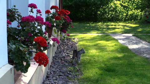 Small kitten cat walk near house window sill with flowers Footage