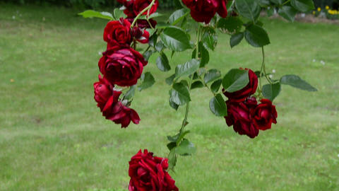 nice red rose branch in summer park. Sliding up Footage