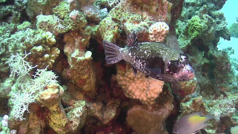 Puffer Fish on Coral Reef Footage
