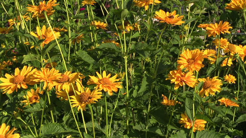 Yellow daisy flowers bush with lot of blooms grow in garden Footage