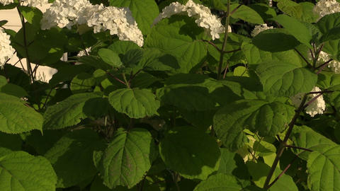 Hydrangea flower bush with white blooms and green leaves Footage