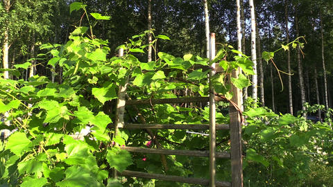 Grape creeper plants grow on wooden fence in garden Footage
