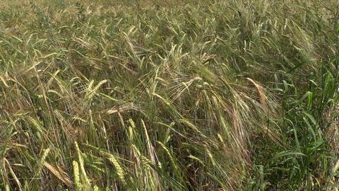 ripe rye (Secale) swing downwind Footage