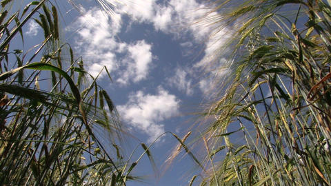 rye swing in wind on blue sky background Footage