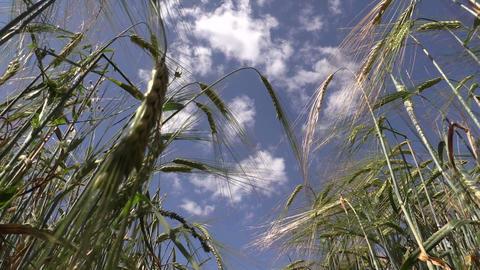 Ripe barley barleycorn plant crops ears move in wind Footage