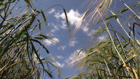 Ripe barleycorn plant crops ears on blue cloudy sky background Footage