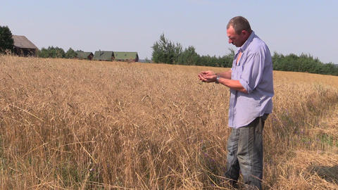Farmer check his agricultural field. Mature wheat plants Footage