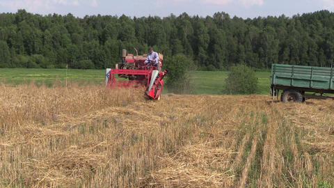 Farmer harvest wheat plant with red combine in agriculture field Footage
