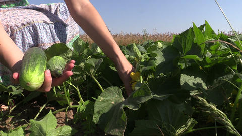 girl hand reap cucumbers in rural garden outside on summer day Footage