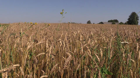 barley swing on wind in countryside. Agriculture view in village Footage