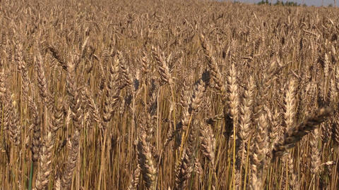 Ripe wheat plant crop ears move in wind. Backward sliding Footage