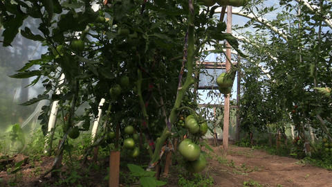 Tomato vegetable plants grow in greenhouse. Forward sliding Footage
