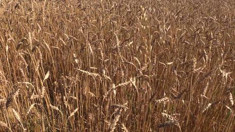 swinging golden barley ear field Footage
