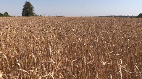 Ripe wheat plant crop ears grow in field. Left side sliding Footage