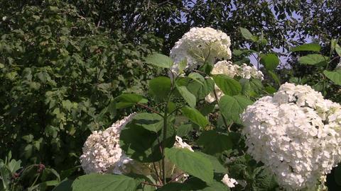 Hydrangea flower bush with white blooms in summer Footage