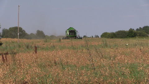 Agriculture machinery harvest ripe dry peas plants. Stork birds Footage