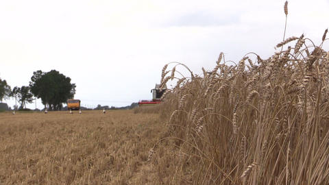 Ears move in wind and harvester machine. Focus change Footage