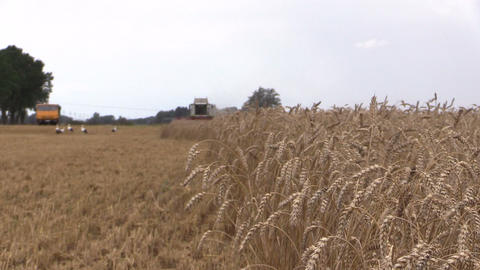 Ears move in wind and harvester combine machine. Focus change Footage