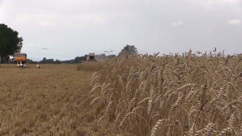 Combine thresher harvest wheat and stork birds fly. Focus change Footage
