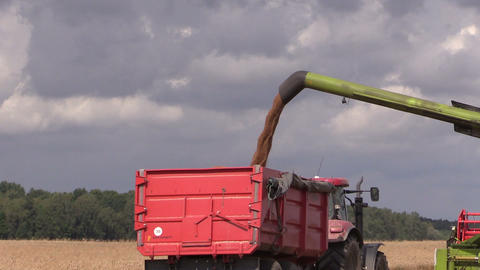 Harvester unloads wheat grain on farmland field background Footage