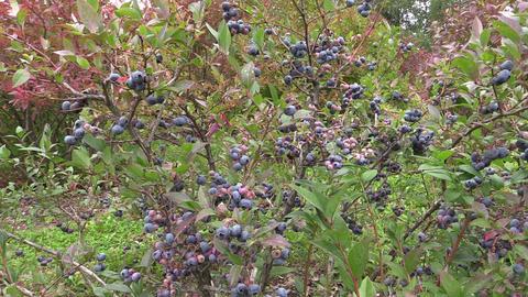 ecologically grown blueberries in garden Footage