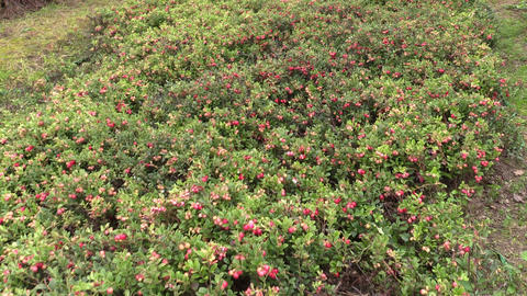 Cowberry lingonberry berry plants grow in garden plantation Footage