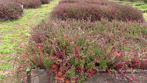 Cranberry mossberry berry plants grow in farm plantation Footage