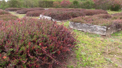 Cranberry mossberry berry plants grow in farm garden plantation Footage
