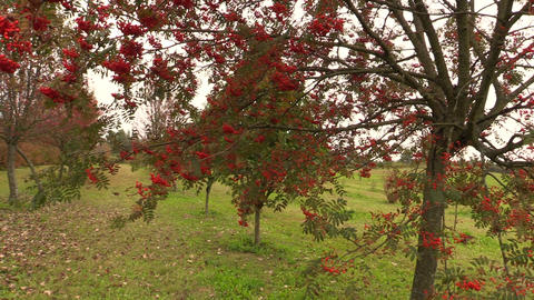 rowan tree with red berry on autumn time Footage