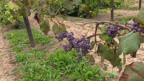 Grape (Vitaceae) Berries Grow In Farm Plantation stock footage